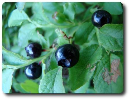 svarta blåbär
