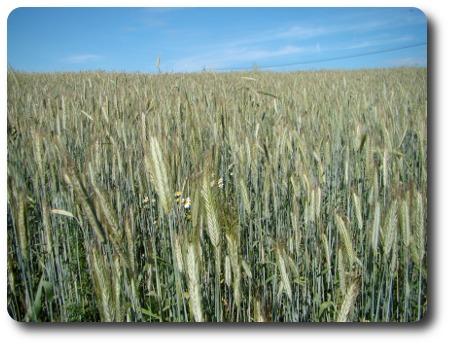 Sädesfält - jag tror det är korn