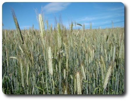 sädesfält med korn, tror jag