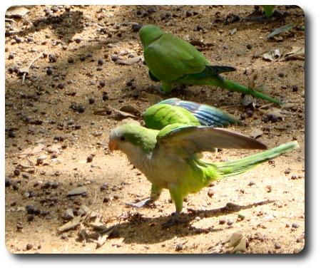 Papegoja i en park i Barcelona