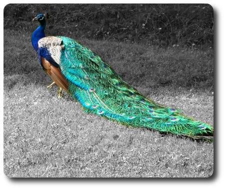 Påfågel i Kolmårdens djurpark