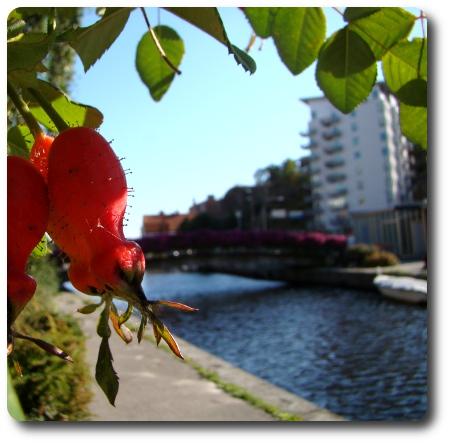Nypon i Karlshamn.