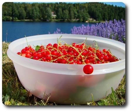 En skål med röda vinbär.
