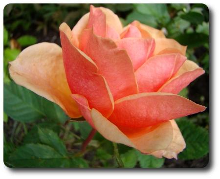 Dagens ros