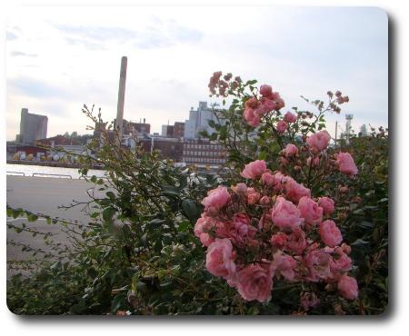 Rosorna blommar. Industrin i bakgrunden.