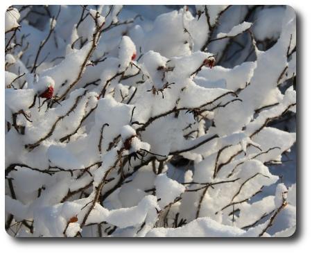 Nyponbuskar i snö