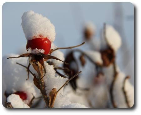 Nypon i snö